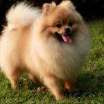 Bệnh viêm đường ruột, dạ dày ở chó phốc sóc vào mùa hè